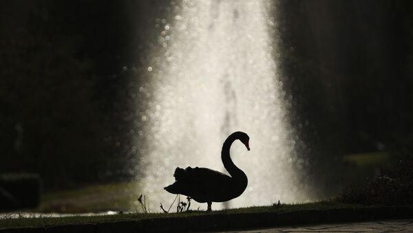 Silueta crnog labuda ispred fontane u Luksemburgu - Sputnik Srbija