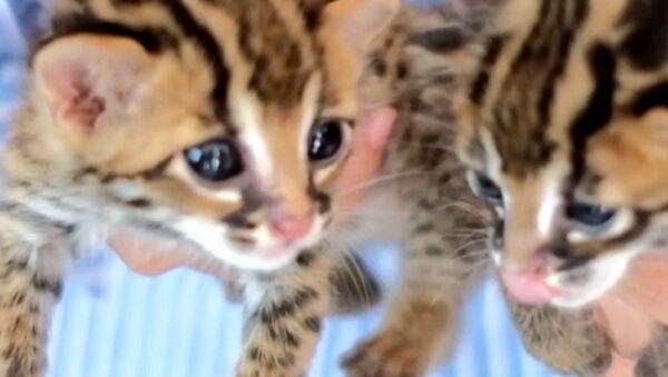 Два младунчета леопарда - Sputnik Србија