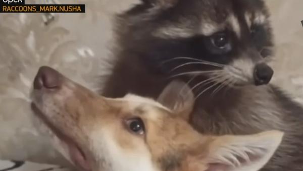 Ракун и пас - Sputnik Србија