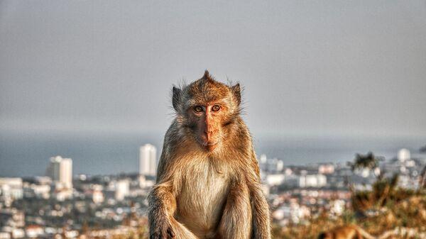 Мајмун - Sputnik Србија