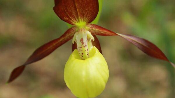 Gospina papučica - orhideja - Sputnik Srbija