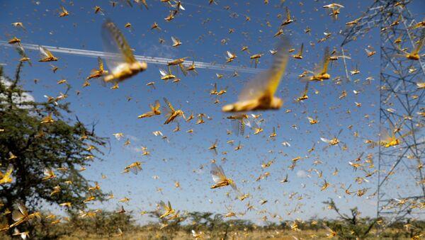Најезда: Скакавци једу усеве у Кенији, Уганди, Сомалији, Етиопији и Судану   - Sputnik Србија