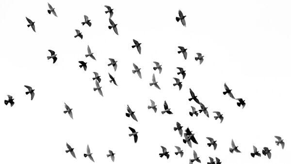 Јато птица - Sputnik Србија