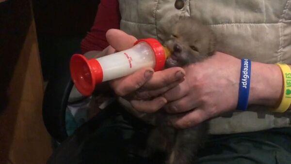 Ускршње изненађење: У подруму пронашли младунче лисице - Sputnik Србија