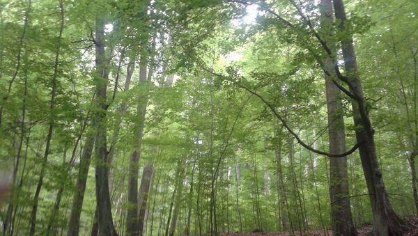 Bukove šume - Sputnik Srbija