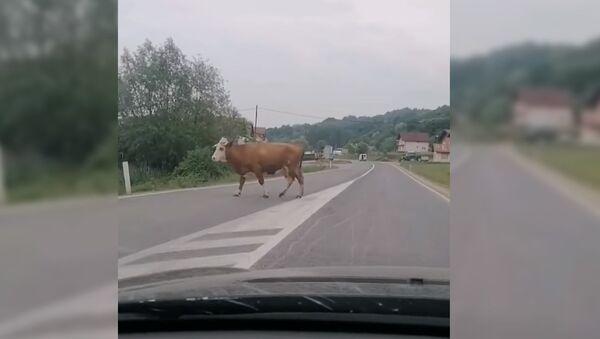 Крава испала из комбија - Sputnik Србија
