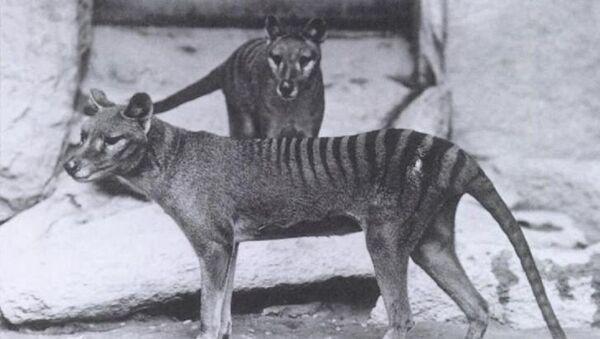 Tasmanijski tigar - Sputnik Srbija