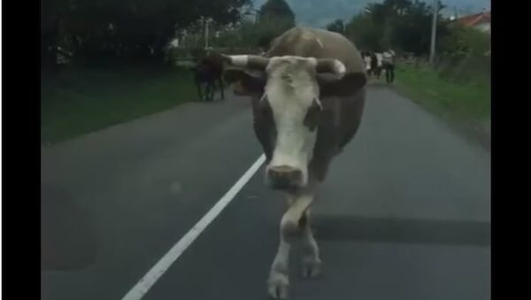 Нова интернет сензација: Грациозна крава из Гацког засенила манекенку - Sputnik Србија