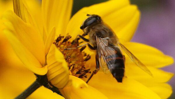 Пчела на цвету - Sputnik Србија