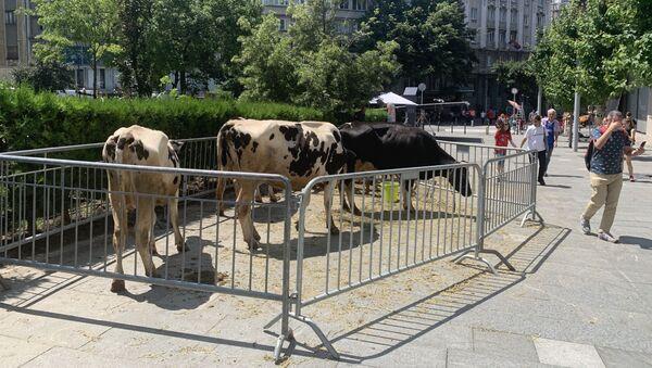 Краве у центру Београда - Sputnik Србија