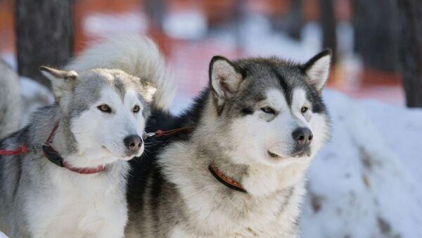Пси расе маламут - Sputnik Србија