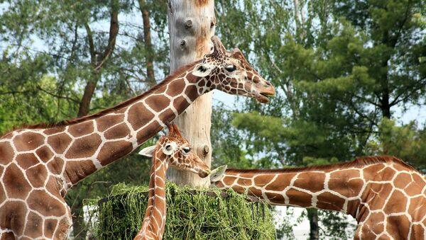 Žirafe u zoo-parku - Sputnik Srbija