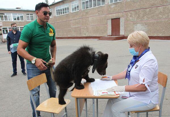 Zamenik direktora zoološkog vrta u Barnaulu, Aleksandar Čebotarjov, prisustvuje glasanju u svom gradu u društvu medveda Daše. - Sputnik Srbija