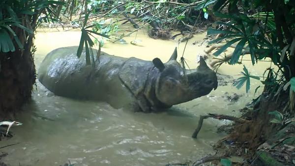 Nosorog se kupa u blatnjavoj vodi - Sputnik Srbija