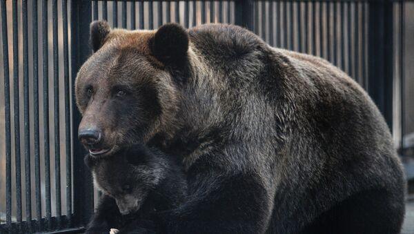 Медвед - Sputnik Србија