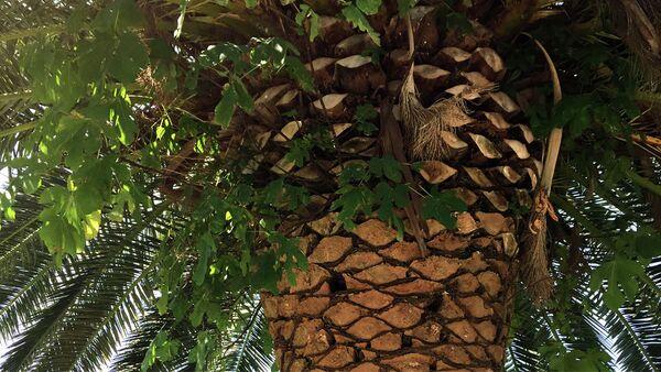 Кад на палми роди смоква - Sputnik Србија