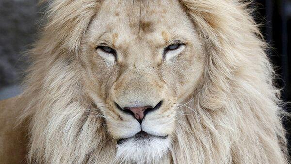 Афрички лав - Sputnik Србија