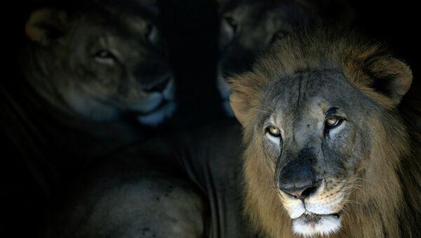 Лавови у зоолошком врту у Сан Салвадору - Sputnik Србија