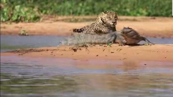 Jaguar i krokodil - Sputnik Srbija