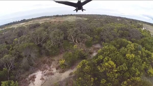 2m Wedge-Tailed Eagle takes down Drone - Sputnik Srbija