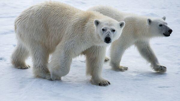 Бели медведи на Арктику - Sputnik Србија