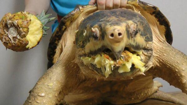 Alligator snapping turtle snaps a Pineapple off - Sputnik Srbija