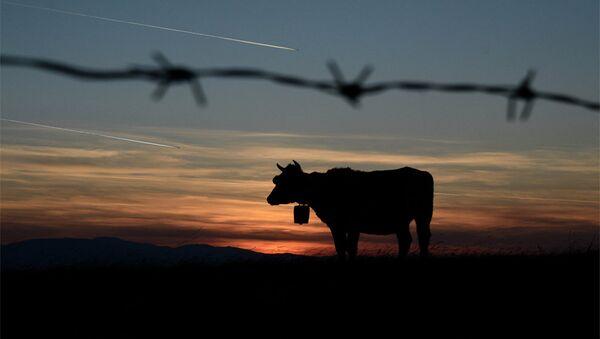 Краве и траг авиона - Sputnik Србија